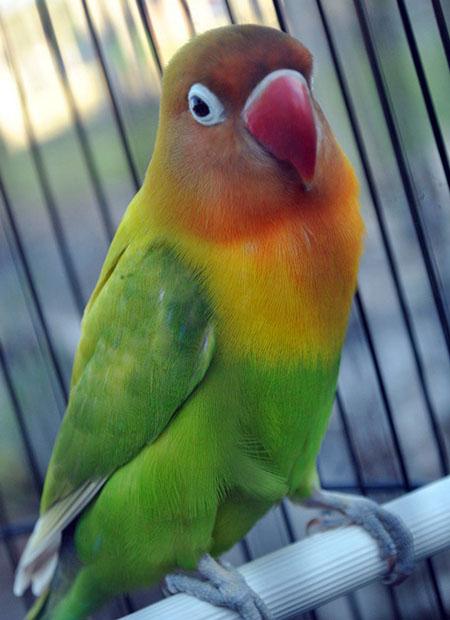 informasi tentang dunia burung berkicau
