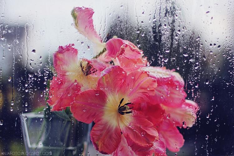 tulipany papuzie, tulipany, fotograf łomianki, anna jarząb fotografia, anja fotografia