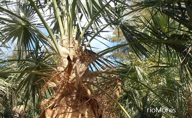 Inflorescencia de Guano Coccothrinax spissa