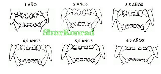 Cachorro que edad dientes tiene dientes Cachorra ShurKonrad