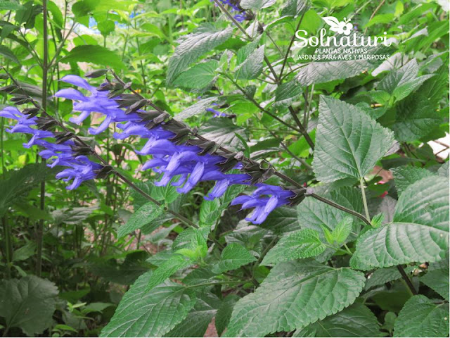 Salvia guaranitica Salvia azul flores