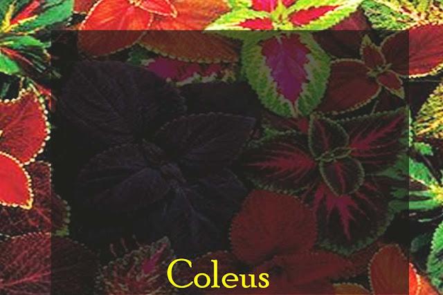 tanaman-hias-coleus-untuk-menyegarakan-ruangan