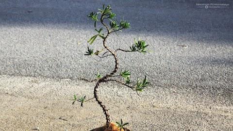 Pokok Buddhist Pine @ Podocarpus Macrophyllus