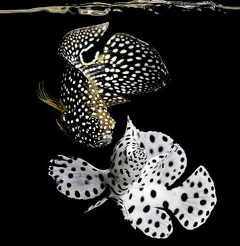 mencampur Cupang Laut dengan ikan hias lain