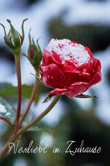 Rote Rose im Schnee