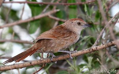 Freckle breasted Thornbird
