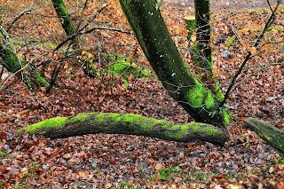 Pied de hêtre, Fontainebleau