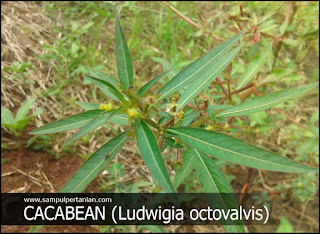 Macam-macam Gulma : GULMA CACABEAN (Ludwigia octovalvis)