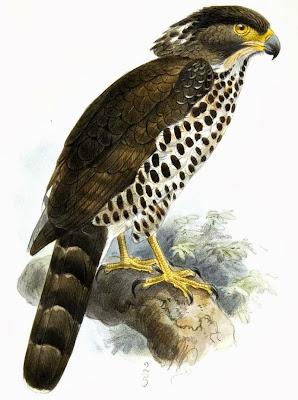 Águila culebrera del Congo Dryotriorchis spectabilis
