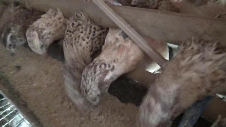 Beternak Burung Puyuh Di Kerinci Mulai Mengeliat