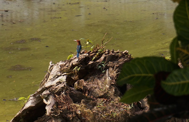 Bird So Blue / Malaysian blue Kingfisher