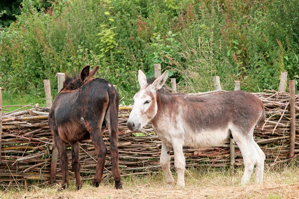 Carolus et Magnus les deux ânes du parc historique d'Ornavik à Caen