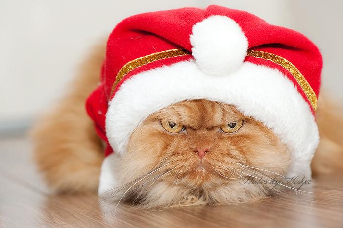 garfi-evil-grumpy-persian-cat-18