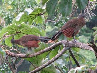 Gray-headed Chachalacas