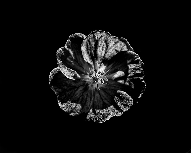 Backyard Flowers In Black And White 6