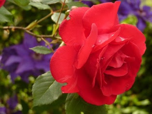 Bunga Mawar – Rose Flower