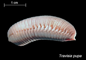 photo of Travisia pupa, the Pacific Stinkworm