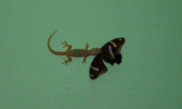 ящерица (геккон) поймала бабочку