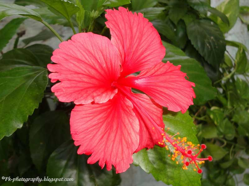 Hibiscus Are Very Beautiful With Yellow And Red 108