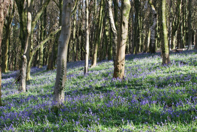 bluebells with tree trunks