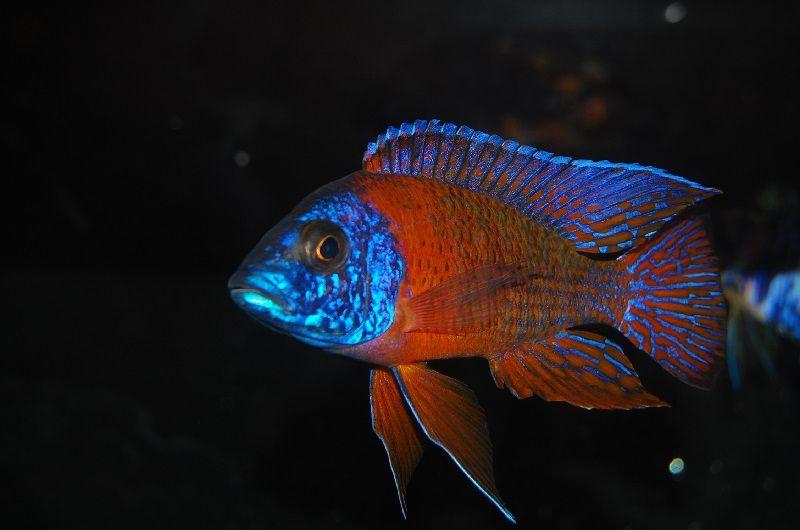 Gambar 5 Ikan cichlid Afrika - Rubin Red Peacock ( Aulonocara stuartgranti )