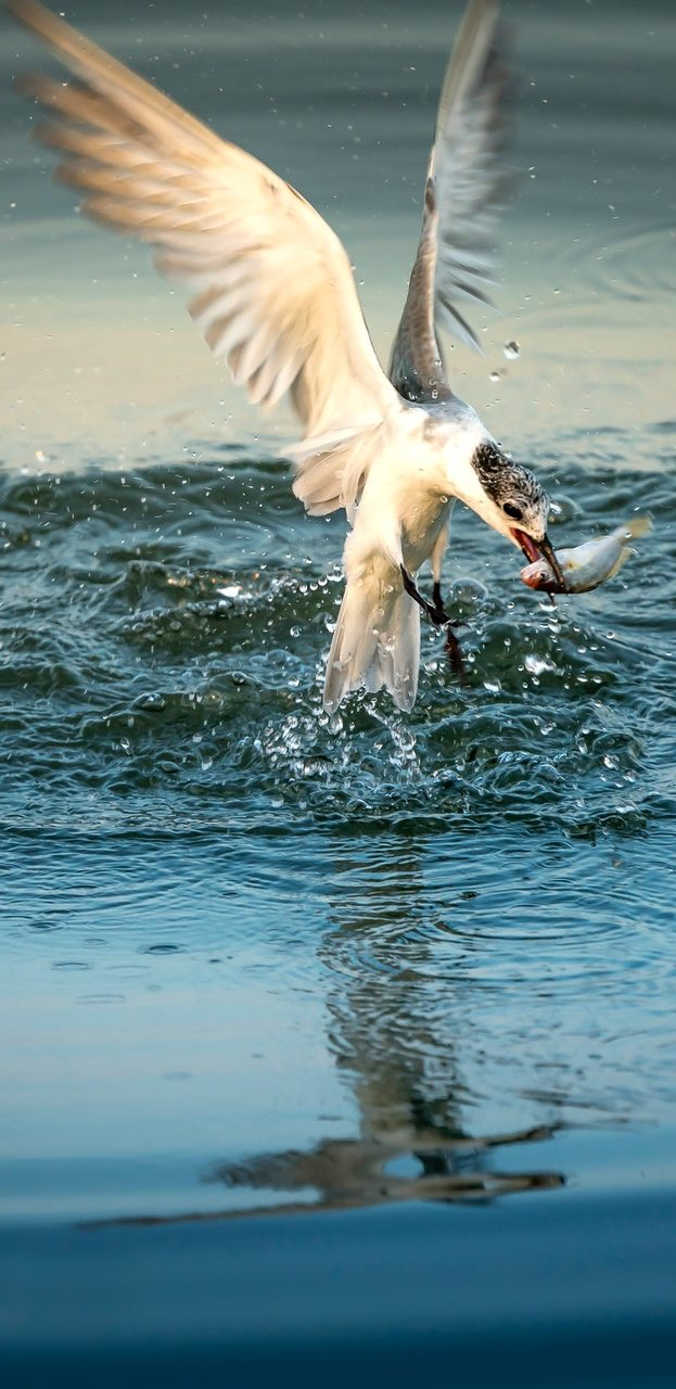 A bird capturing fish.