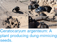 http://sciencythoughts.blogspot.com/2016/08/ceratocaryum-argenteum-plant-producing.html
