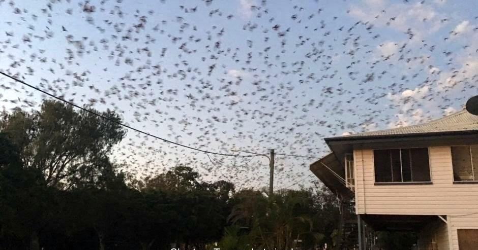 'Plague' of bats wreaks havoc in Charters Towers