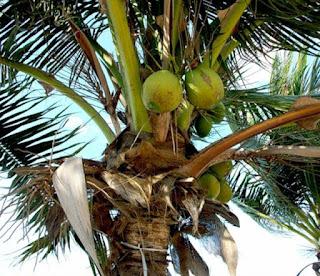 зеленый кокос на дереве