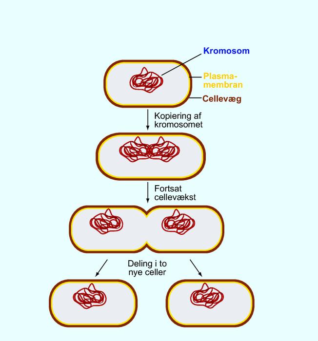bakterier formering