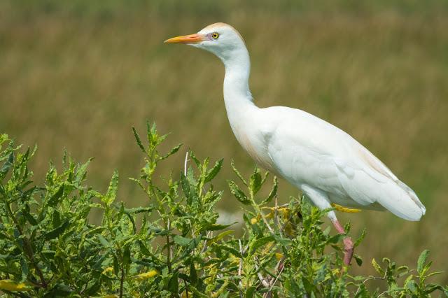 Cattle Egret, Anahuac National Wildlife Refuge