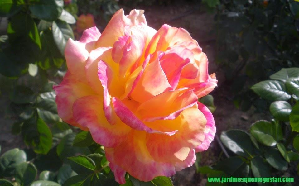 planta, rosal de flor amarillo y rosa