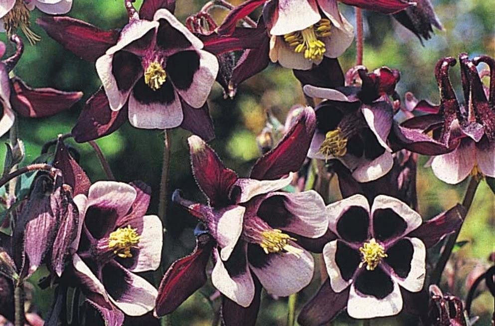Aquilegia vulgaris 'Magpie' in full flower