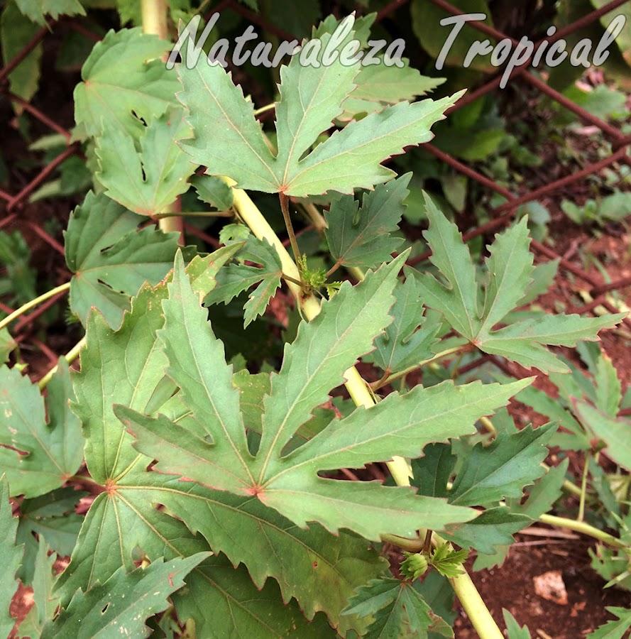 Hojas multilobuladas de la planta ornamental Hibiscus radiatus