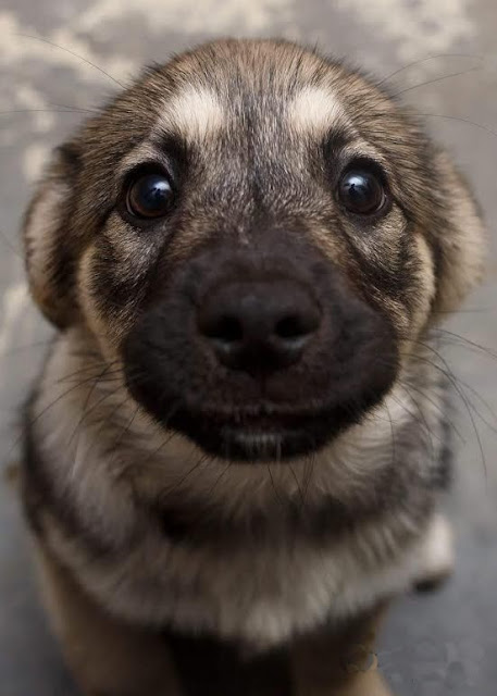 German Shepherd Puppy Cute Eyes