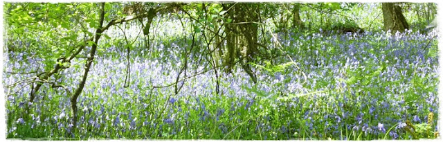 woodland full of bluebells in Cornwall