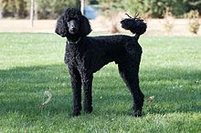 Beautiful Poodle Dog