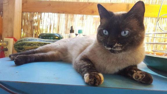 Gato con vitiligo