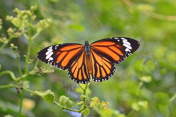 monarch-butterfly-in-hindi