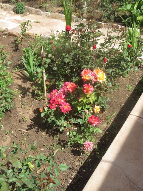 Es blüht wieder in meinem Rosengarten