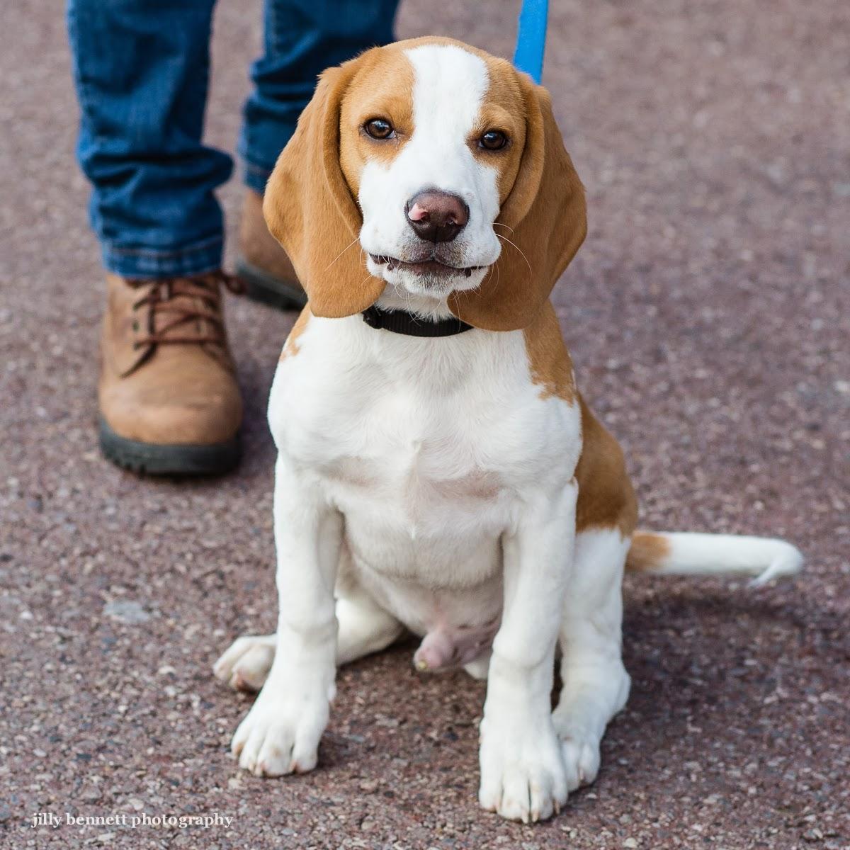 ️. It's a baby Squishy Lemon Beagle!!!!!!! | Cute beagles ...  |Lemon Beagle Puppies