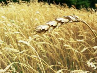 gandum utuh