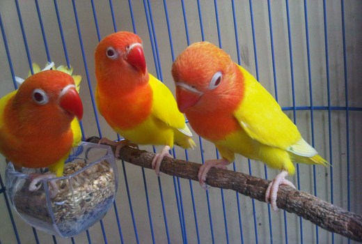 ternak lovebird lutino untuk pemula   Dunia Cara Ternak Hewan   Peluang Usaha Sampingan