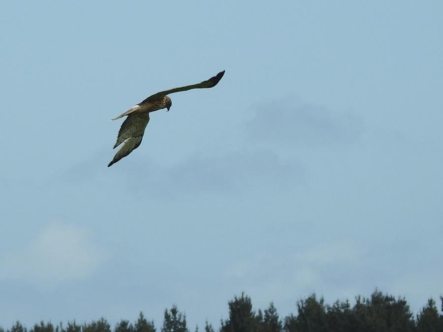 harrier-hawk