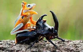 Frog ride beetle