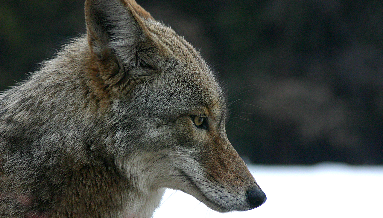 Mammals Animals: Coyote portrait.