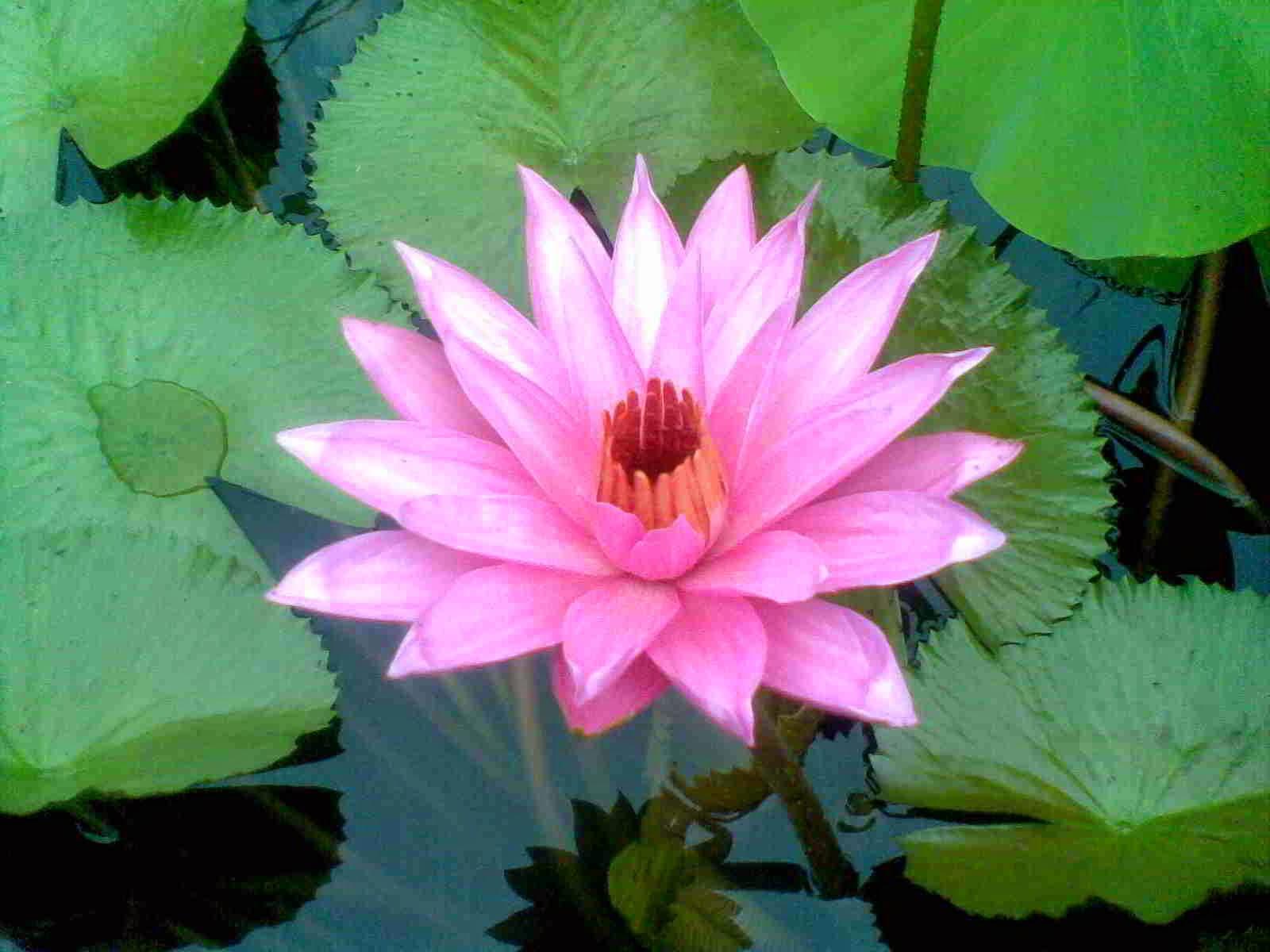 Khasiat dan Manfaat Bunga Teratai