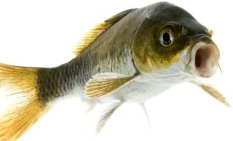 Foto de un lindo pez con la boca abierta