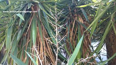 Restos de la inflorescencia en panícula de la yuca