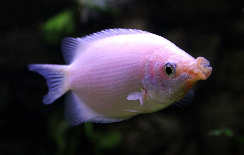 34. Jenis Ikan Hias Aquascape Kissing Gourami